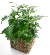 coffee plant, coffea arabica, growing coffee plant