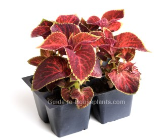 Growing Coleus Plant Indoors Coleus blumei Pictures Care Tips