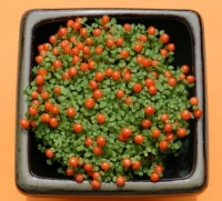 coral bead plant, unusual house plants