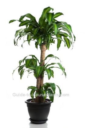 Corn Plant Care Tips - Dracaena fragrans \'Massangeana\'