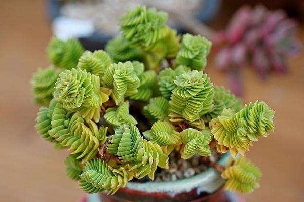 crassula estagnol, rare succulent