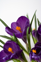 crocus, crocus bulbs, crocus flowers, forcing crocus
