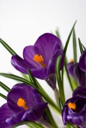 crocus, crocus bulbs, crocus flowers, forcing crocus