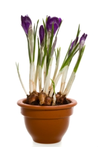 crocus, crocus bulbs, crocus flowers, forcing crocus, growing crocus indoors