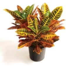 croton plants, codiaeum variegatum, crotons