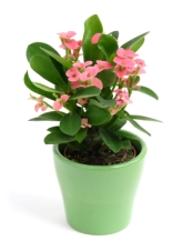 crown of thorns plant, euphorbia milii, poisonous house plants