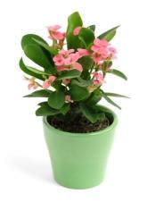 crown of thorns, euphorbia milii, poisonous house plants, poisonous plants, toxic house plants