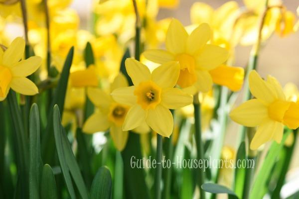 growing daffodils, daffodil care, planting daffodil bulbs, forcing daffodils indoors