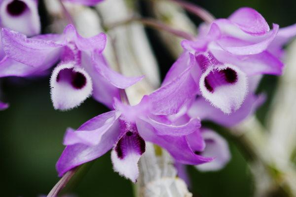 fragrant orchids, dendrobium parishii