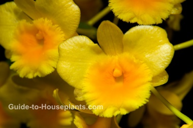 dendrobium orchid care, indoor orchid, dendrobium chrysotoxum, growing orchids indoors
