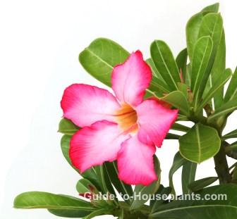 desert rose flower, desert rose plant