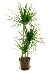 Madagascar Dragon Tree Dracaena Marginata Picture Care Tips