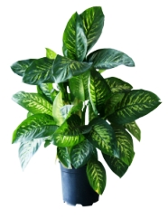 dumb cane, dieffenbachia, poisonous house plants, toxic house plants, common house plants, house plants toxic to cats