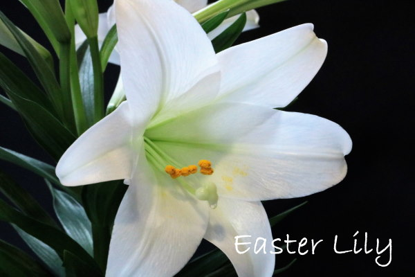 Types Of Lily Flowers To Grow Indoors