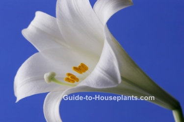 easter lily care, white easter lily, lilium longiflorum