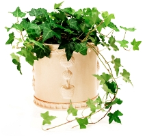 English Ivy Plant Care - Hedera helix