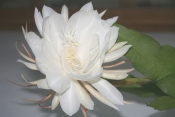 Epiphyllum oxypetalum, epiphyllum orchid cactus, orchid cactus