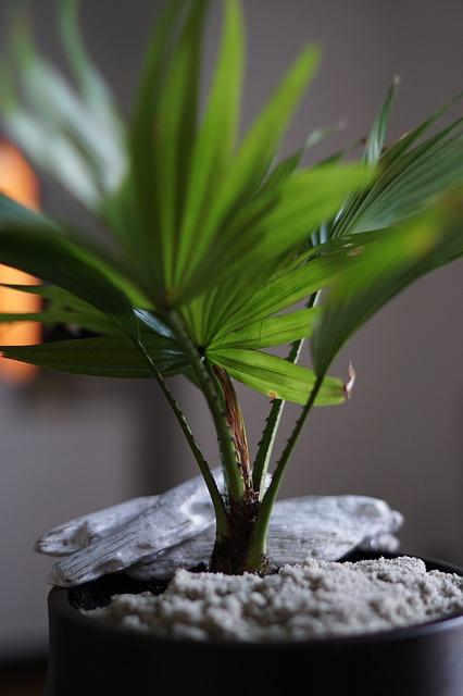 european fan palm, mediterreanean fan palm, chamaerops humilis, indoor palm trees