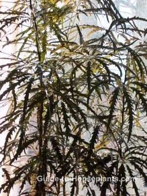 false aralia, dizygotheca elegantissima, large house plants