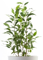 weeping fig, ficus benjamina, common house plants, large house plants, ficus