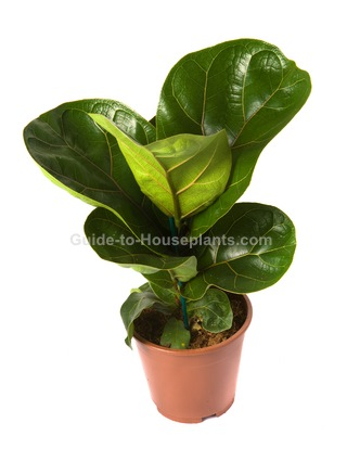 Fiddle Leaf Fig Ficus Lyrata House Plants Tree