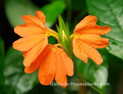 firecracker flower, crossandra infundibuliformis