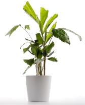 fishtail palm, palm house plants, green house plants, tropical house plants