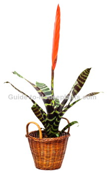 bromeliad plant, flaming sword, vriesea splendens
