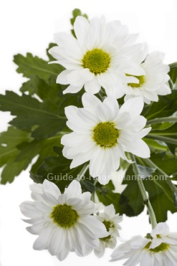 florist chrysanthemum, chrysanthemum morifolium, chrysanthemums, indoor mums, chrysanthemum varieties