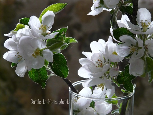 forcing branches, forcing apple branches