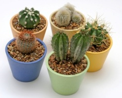 Cactus House Plants, Easy-to-Grow and Sun-Loving
