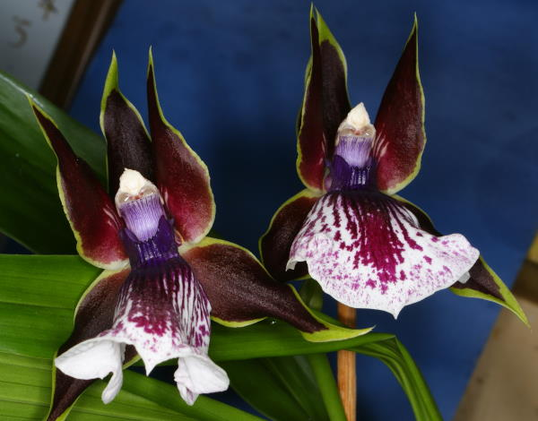zygopetalum, fragrant orchids