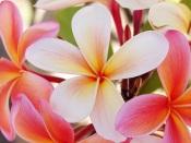 pink frangipani, picture of plumeria