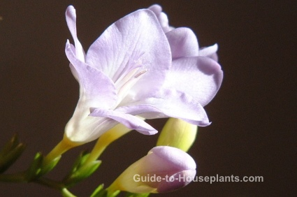 freesia, fragrant house plants