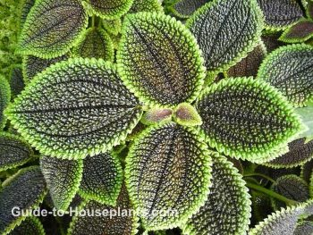 friendship plant, pilea involucrata, moon valley pilea