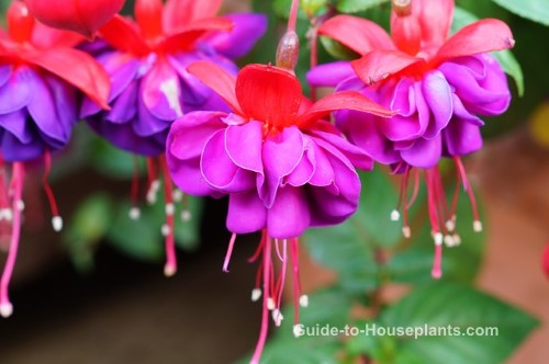 fuchsia plant, fuchsia flowers