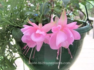fuchsia plant, fuchsia flowers, growing fuchsias, fuchsia basket