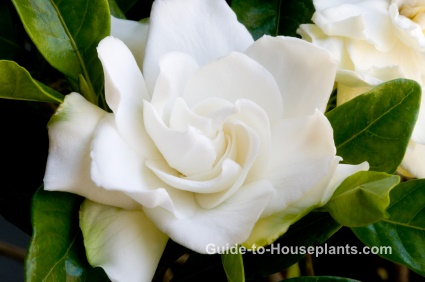gardenia care, gardenia jasminoides, fragrant house plant, flowering house plant