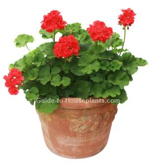 geranium care, growing geraniums indoors, how to care for geraniums, geranium plants, perennial geranium