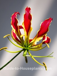 glory lily, gloriosa superba, flowering vine, tropical vine