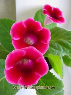 gloxinia, gloxinia plant, growing gloxinia, gloxinia flowers, sinningia speciosa