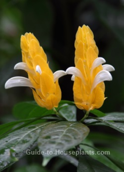 golden shrimp plant, pachystachys lutea, lollipop plant