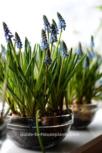 grape hyacinths, grape hyacinth muscari, forcing hyacinth bulbs, growing hyacinths indoors