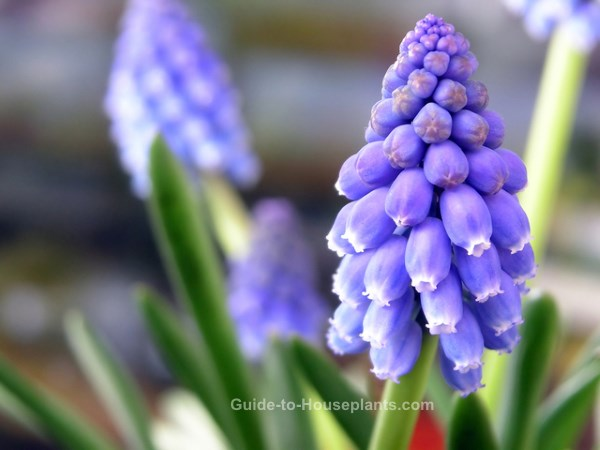 grape hyacinths, muscari, forcing bulbs, flower bulb catalog