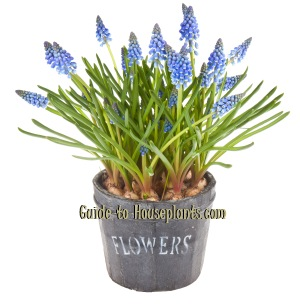 Growing grape hyacinths muscari spp forcing hyacinth bulbs indoors - Planting hyacinths pots ...
