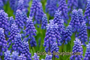 grape hyacinths, growing hyacinths, forcing hyacinth bulbs, forcing hyacinth bulbs, muscari armeniacum, grape hyacinth muscari