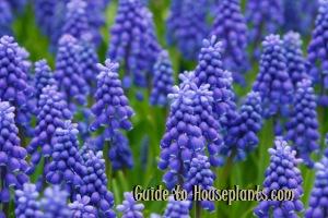grape hyacinths, growing hyacinths, forcing hyacinth bulbs, forcing hyacinth bulbs, muscari armeniacum, grape hyacinth muscari