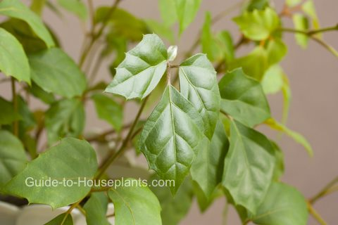 G Ivy Plant Care - Types of Cissus rhombifolia as House ... Ivy House Plant Flower on ivy texture, ivy and flowers, poison ivy plant flower, ivy vine in the garden, ivy with flower beds,