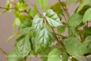 grape ivy, kangaroo vine, cissus rhombifolia, oak leaf ivy