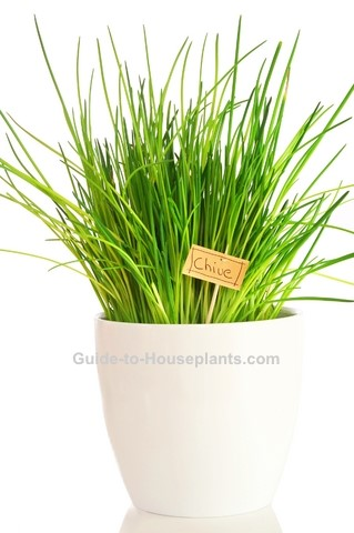 Growing Chives Indoors How To Grow Chives Plant